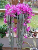 Aporocactus Flagelliformis ~ Stunning Rat Tail Cactus ~ Pink Flowers ~ 5 Seeds ~