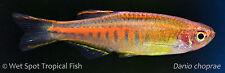 "(10) 1"" Glowlight Danio WILD Celestichthys choprae Live Freshwater Tropical"