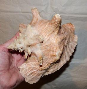 Gut erhaltene Riesenmuschel, Meeresschnecke - Fechtermuschel - 665 g - 20 cm