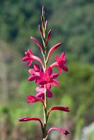 Entzückend filigrane Blüte der Tritonia-Lilie wunderschön.