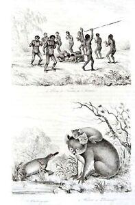 AUSTRALIA - KOALA - QUOLL - LYRE  KANGAROO Original 1835 Antique Prints set of 4
