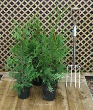 Thuja Plicata Western Red Cedar 80 cm tall 4 litre pot x 5