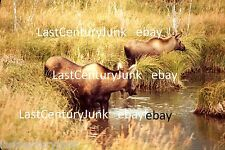 35mm Ektachrome  Slide 2 Wild Moose/ Wooded Scenery