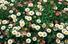 75 Mexican Fleabane 'Profusion' (Erigeron karvinskianus) hardy perennial seeds