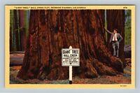 Bull Creek Flat CA, Giant Tree, Redwood Highway, Vintage California Postcard