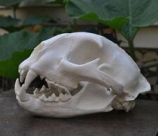 Taxidermie.Reconstitution crâne puma (Vente légale)