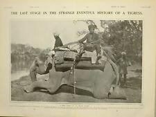 1903 PRINT ENGLISH OFFICER SAHIB RIFLE TIGER ELEPHANT