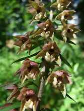Broad-Leaf  ORCHID ~Brownish-Purple~ 'Epipactis Helleborine' 25- Seeds