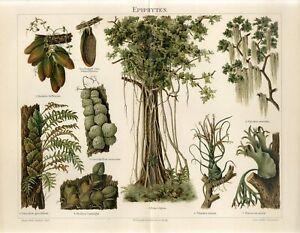 1895 EPIPHYTES FLOWERS PLANTS Antique Chromolithograph Print