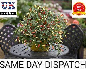 Chilli Pepper Seeds - Basket of Fire - UK SELLER