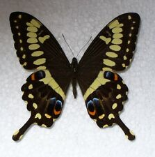 Butterfly/Moth Papilio ophidicephalus - Swallowtail - male from Tanzania