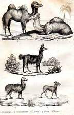 Original Buffon 1853 Antique Natural History Print Camel Llama