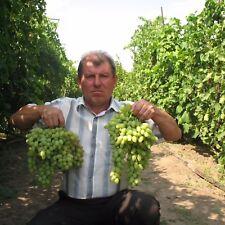 STOLETIE kernlos veredelt Weintrauben Weinreben Weinstock Traube Wein
