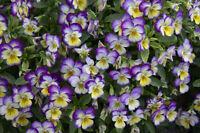 johnny jump-up (viola tricolor) flower, 225 SEEDS! GroCo buy US USA*