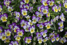 johnny jump-up (viola tricolor) flower, 225 SEEDS! GroCo*