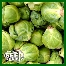 Long Island Brussels Sprouts Seeds - 500 SEEDS NON-GMO