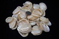 "100 Pearl Abalone Shells 1 1/2"" To 2"" Haliotis Asinina Donkey's Ear Seashells"