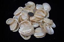 "50 Pearl Abalone Shells 1 1/2"" To 2"" Haliotis Asinina Donkey's Ear Seashells"