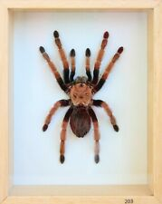 Unique Real Tarantula (Mexican Fire Leg) Taxidermy - Mounted,Framed