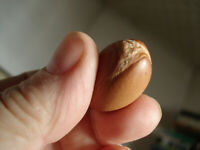 Argania Spinosa - 5 Seeds - The Argan Nut Tree - MOROCCO GOLD ! VERY FRESH SEEDS