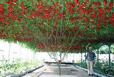 ITALIAN TREE TOMATO 'Trip L Crop' Rare Tomato Seeds 30 seeds