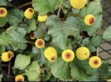 50+ Toothache Plant Seeds (Spilanthes Oleracea)