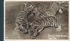 Postcard Tiger Cubs Blackpool Tower Menagerie Real Photo unposted