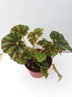 Begonia 'Passing Storm' - houseplant /vivarium/ terrarium/garden/porch