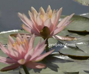 Colorado Water Lily Changeable salmon orange plants koi pond garden J&JAquafarms
