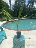 Washingtonia Robusta Mexican Fan Palm Beautiful Tropical Red Trunk Palm Tree