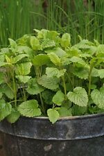 Lemon Balm 50 Seeds Sweet lemon-mint scent Plants up to 2' tall