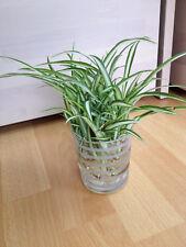 3 Ableger Grünlilie Zimmerpflanze weiß-grün