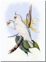 """Vintage John Gould Australian Bird Art CANVAS PRINT~ Little Corella 24""""X18"""""""