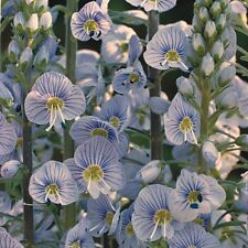 Veronica - Blue Streak - 100 Seeds