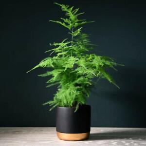 T&M Asparagus Fern House Plants with Option of Modern Pot 1, 2 or 3 x 13cm Pots