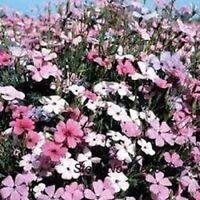 Lychnis- Rosett- 400 Seeds-     - BOGO 50% off SALE