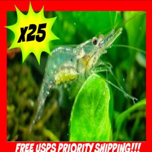 🦐 x25 Live Freshwater Ghost Glass Grass Pond Aquarium Shrimp Feeders Fish Food
