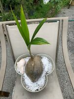 3 Coconut 🌴 Tree Live Plant Tropical