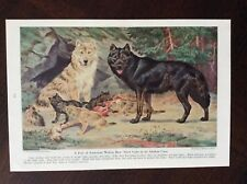 1944 vintage original magazine illustration American Wolves And Their Cubs