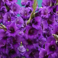 12 x GLADIOLI Purple Flora - LARGE FLOWER - Perennial Garden Plant BIG BULBS