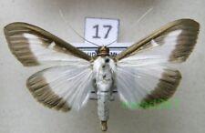 Cydalima perspectalis (WALKER, 1859) Poland17