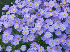 Blue Swan River Daisy Seeds - Perennial Lovely in Rockeries, Pots & Windowboxes