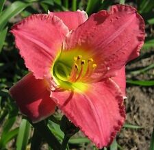 Daylily Plant Vera Biaglow Perennial Moldovan Double Fan Flower Rose Pink Zone 5