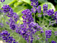 Lavender Seeds, English, Heirloom Perennial Herb Seeds, Very Fragrant, 50ct