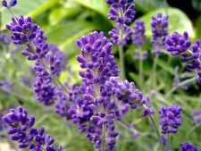 Lavender Seeds, English, Heirloom Perennial Herb Seeds, Very Fragrant, 50ct