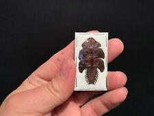 Entomologie Insecte Superbe trilobite Duliticola sp. d'Indonesie!! RARE!