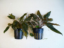 Cryptocoryne becketii x 2 pots Fish Aquarium Aquatic Live Plants PT036