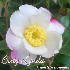 "Kamelie ""Betty Lynda"" - Camellia sasanqua - 3-jährige Pflanze"