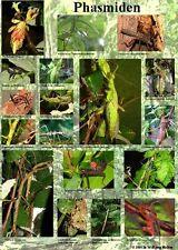 Phasmiden- Poster A2 42x60cm Stabheuschrecken, Dornschrecken, Wandelndes Bl.att