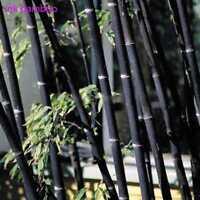 100 stücke Phyllostachys Pubescens Moso Bambus Samen Gartenpflanzen Decor E8L7